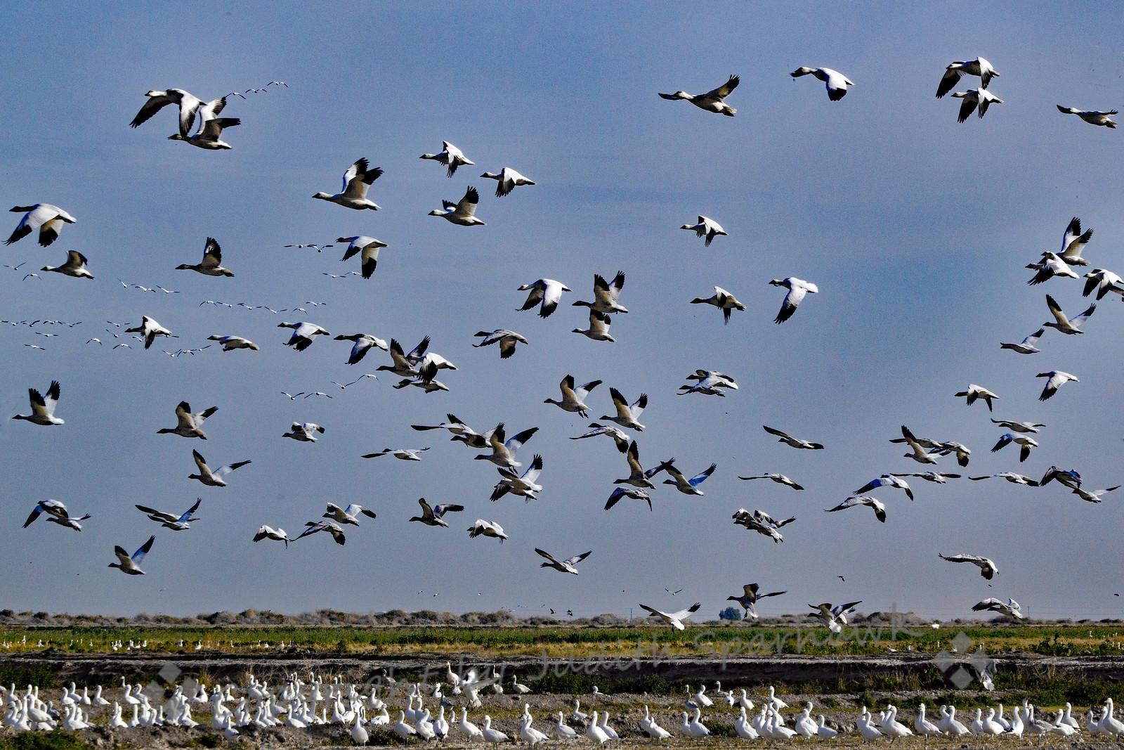 Geese Above, Geese Below