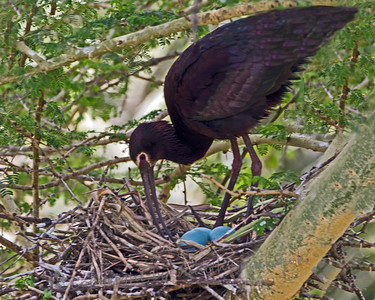 White-faced Ibis at Nest