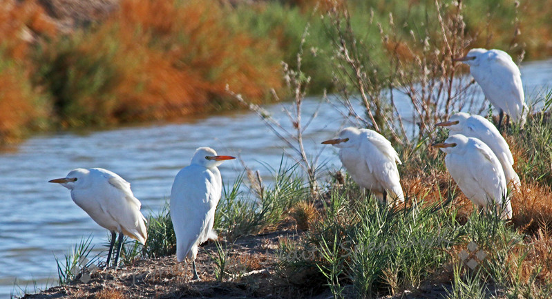 Cattle Egrets ~ These are a few of the Cattle Egrets sitting beside an irrigation ditch near Salton Sea recently.  It was early morning, and about 25 or more egrets were sunning themselves.