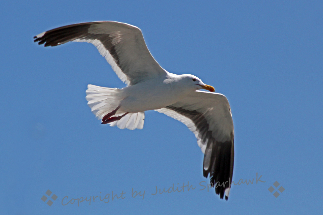 Western Gull Flying ~ This Western Gull was photographed flying over Venice Beach in Southern California.