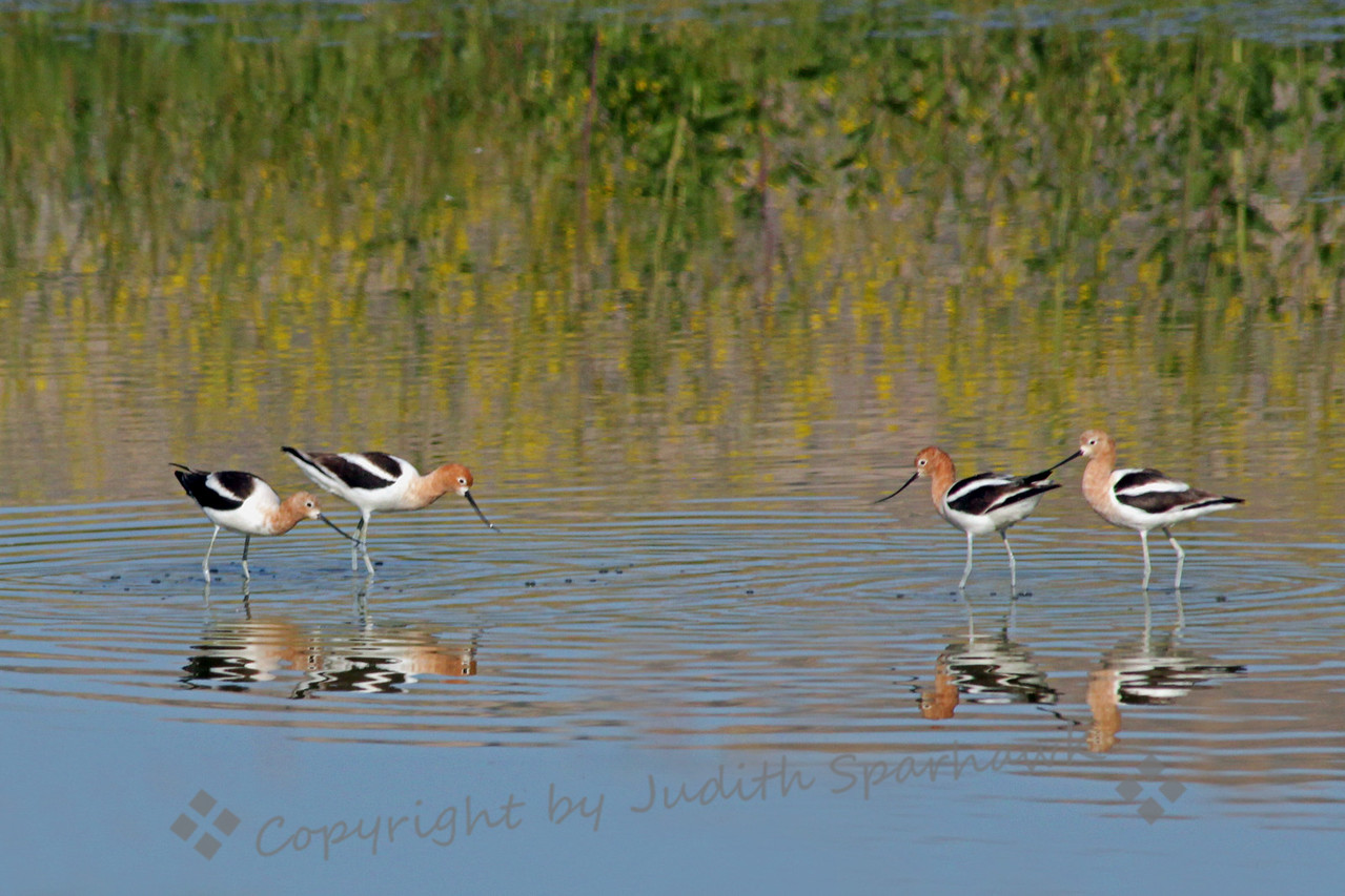 Seeing Double ~ These American Avocets were photographed at San Jacinto Wildlife Area.  I liked the way they look like they are facing off, reflections and all.