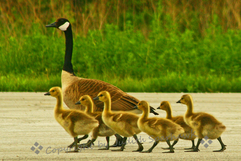 Family Outing ~ This cute family of Canada Geese was photographed at Ottawa National Wildlife Area in northwest Ohio.  There were goose families everywhere, with goslings of varying sizes and ages.