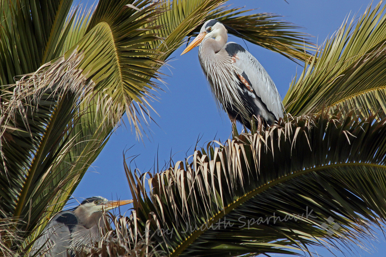 Nesting Great Blue Herons ~ These herons are nesting in this tall palm tree at Bolsa Chica Ecological Reserve in Orange County, California.
