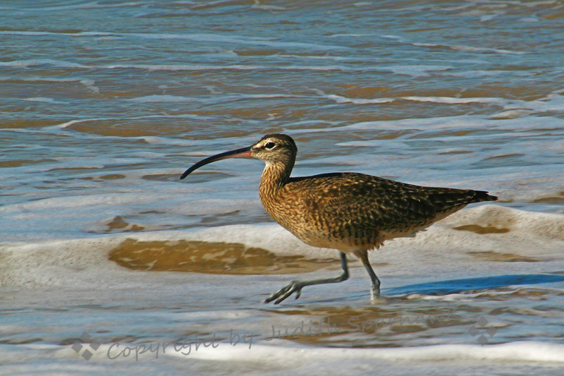 Whimbrel ~ This Whimbrel was feeding at shoreline, with Willets, Marbled Godwits and Sanderlings.  It was the only Whimbrel in the crowd.  Here he looks like he's marching to his own drummer...