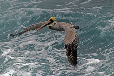 Flying Pelican ~ This view of a flying Brown Pelican shows just how wide that wingspan is.  According to the books, the wingspan measures 84 inches!  They ofen fly in formation low over the water.  When feeding, they fly higher, pull in those wings and do a dive head first into the water.