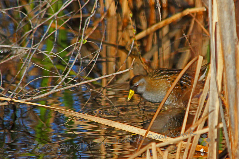 "Sora ~ This little rail is a secretive and shy ""stealth"" bird, fairly common in wetlands and marshes, but often hard to see.  This was cropped a lot, so isn't as sharp as I would like, but I was thrilled to get any pictures at all.  San Jacinto Wildlife Area, California."