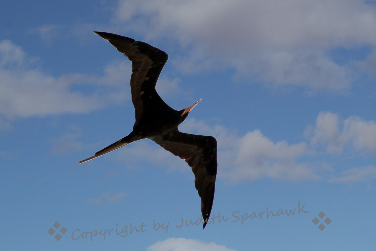 Magnificent Frigatebird ~ I hadn't seen Frigatebirds for many years, and appreciated all over again their sharp angled shapes as they fly over.