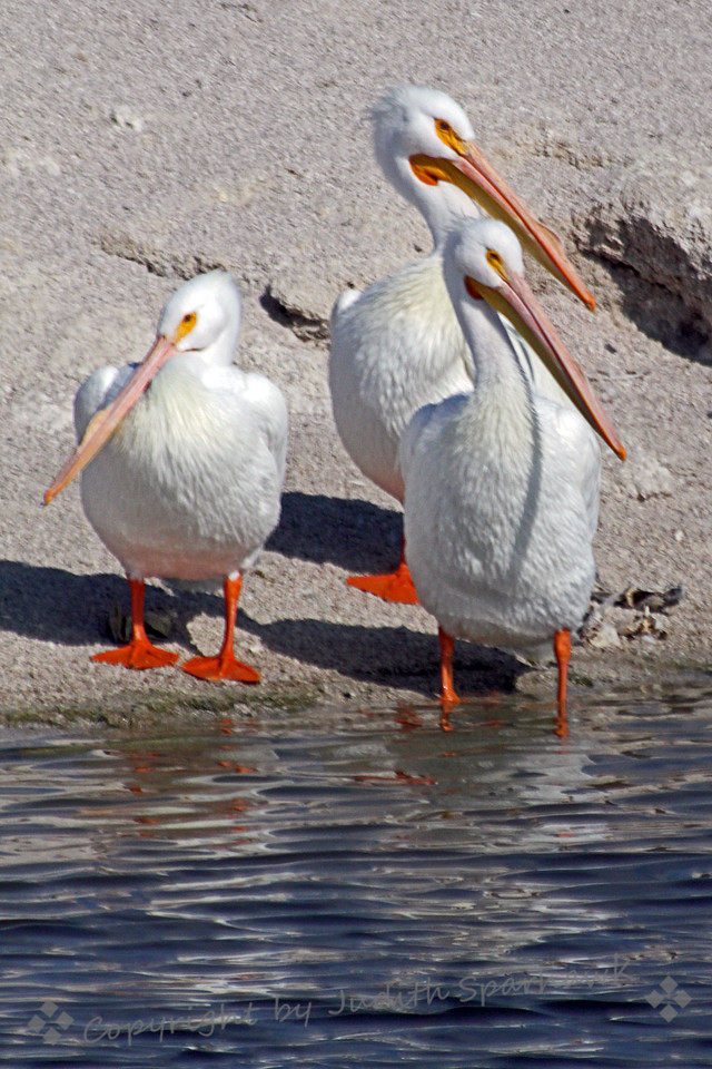 White Pelican Trio ~ The pelicans were sunning by the water at Salton Sea.