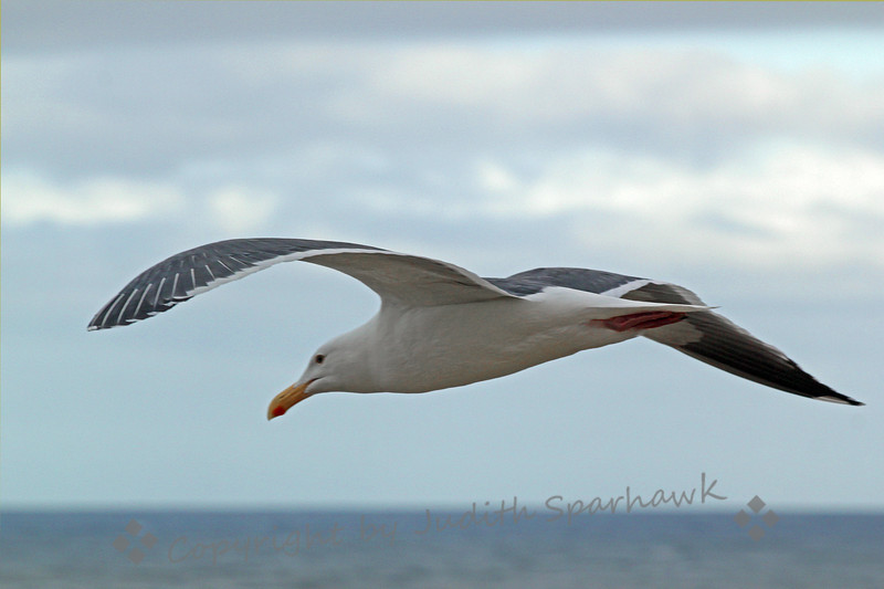 Flying Western Gull ~ Photographed at La Jolla Cove, San Diego area.