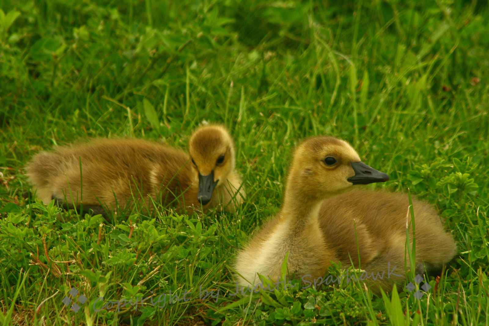 The Goslings ~ These cute and fuzzy Canada Geese goslings didn't seem to mind having their portraits taken.