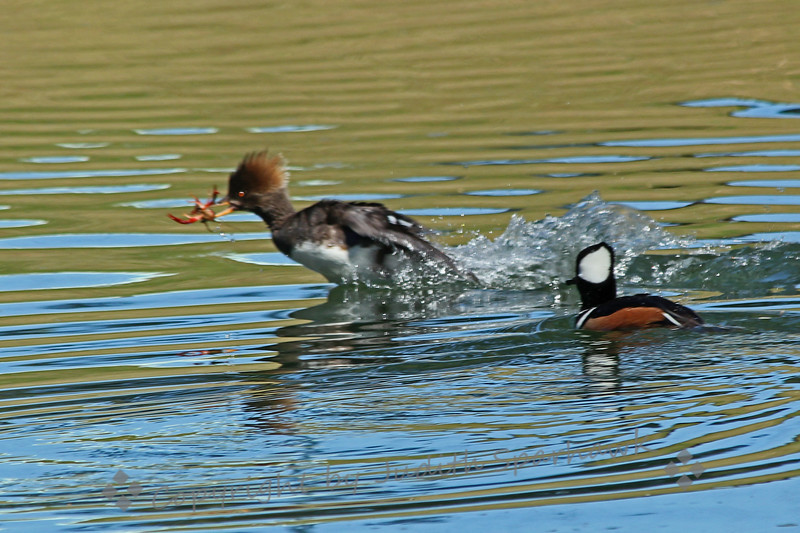 """Leave Me Alone, It's Mine, All Mine! ~ This female Hooded Merganser had caught some kind of creature for lunch, and really didn't want to share with her hubby.  She was really truckin' across the surface of the pond!"