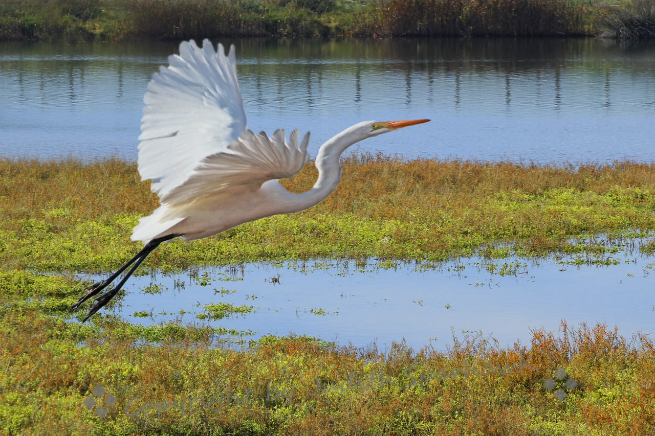 Take Off ~ This beautiful Great Egret is taking off from the marsh at Bolsa Chica Ecological Reserve.  I liked the graceful lines of his neck, wings and trailing legs.