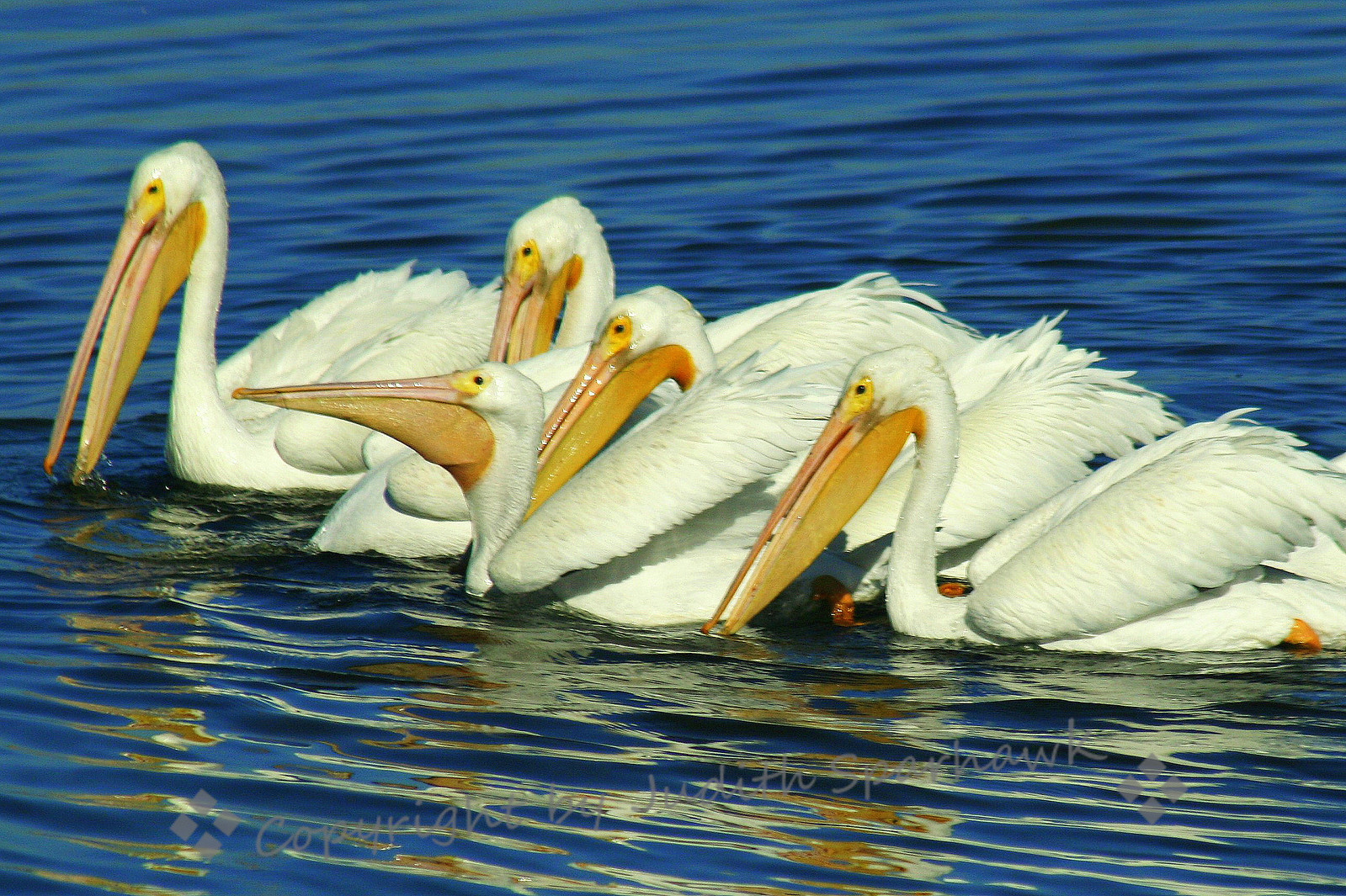 Pelican Party ~ These white pelicans were swimming together for their group feeding.  They were cooperative enough to pose for me with all their heads up at one time.