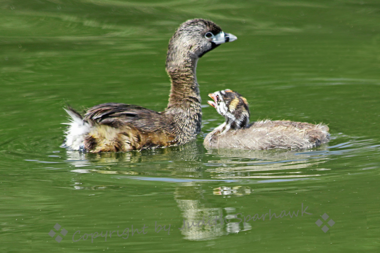 Pied-billed Grebe & Baby ~ This grebe baby was hanging close to Mom, hoping for some food.  She was diving for food, and patiently fed her young.
