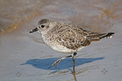 Black-bellied Plover ~ This winter plumaged plover was photographed on Coronado Island, in San Diego.  Come spring his breeding plumage will include the black belly for which he is named.  I liked his shadow mirroring his position.