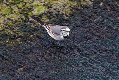 White Wagtail View
