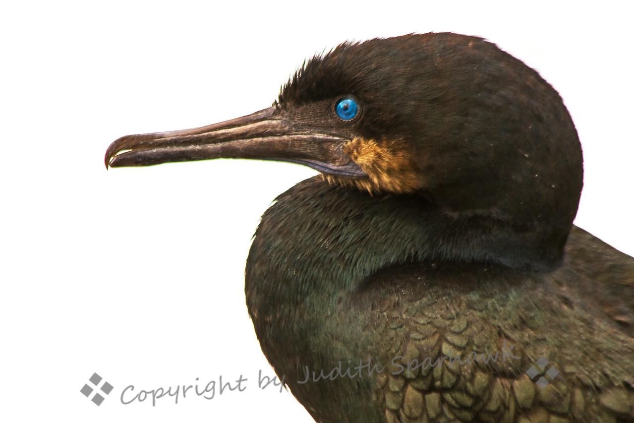 Brandt's Cormorant Close-up