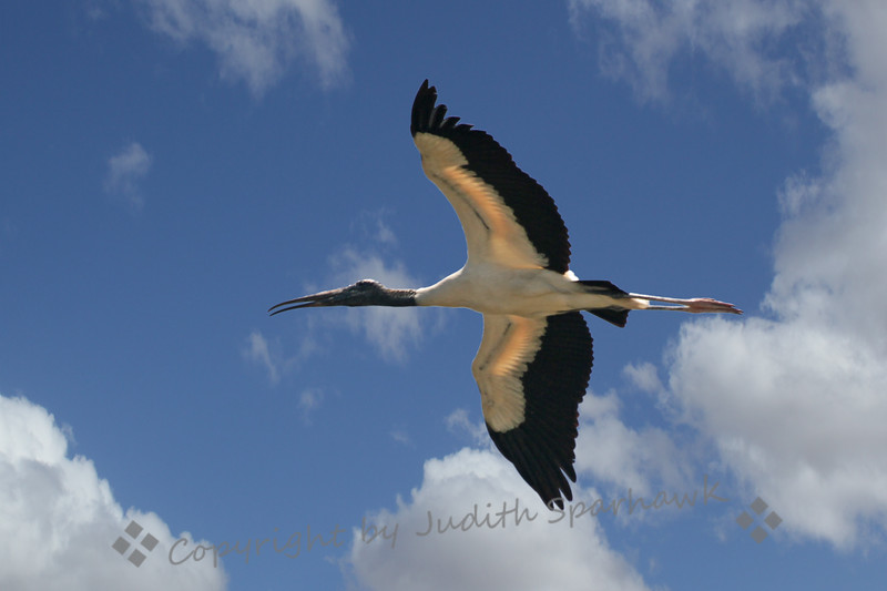 Wood Stork Flying ~  This Wood Stork was flying to its nesting site in the magroves on an island in a lake in the Everglades.