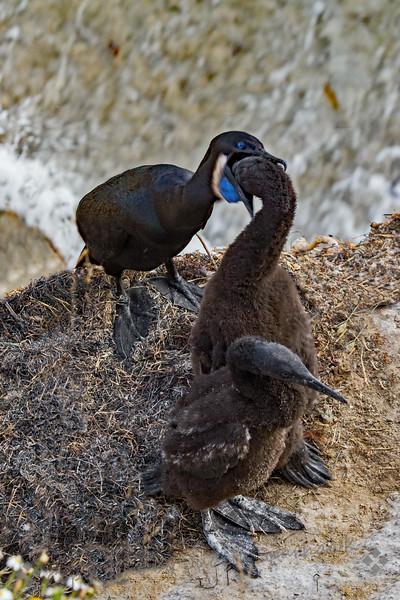 Brandt's Cormorant Feeding