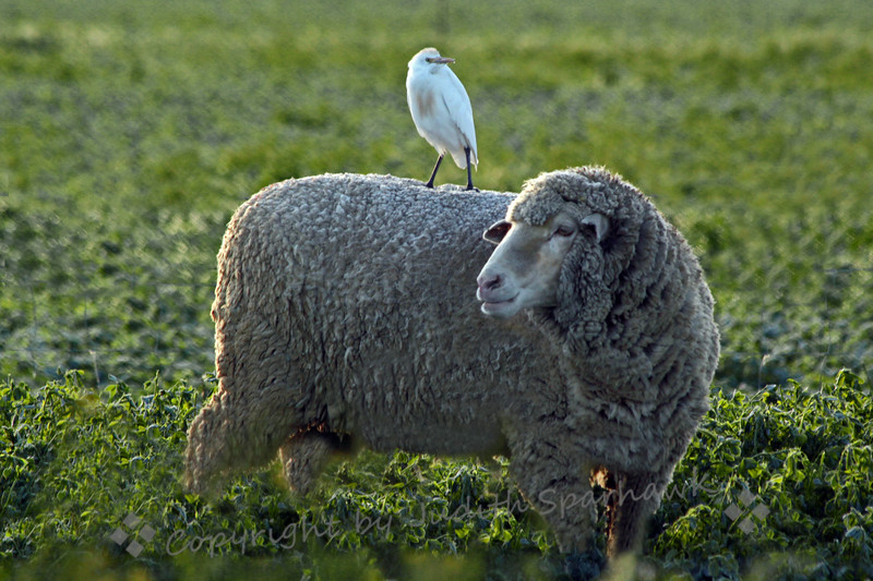"The Hitchhiker ~ This Cattle Egret was on the back of this large sheep this morning when I drove by a field in the San Jacinto Valley.  There were about 6 ""hitchhiking"" egrets, and quite a few sheep with many little lambs.  I thought it made a fun picture."