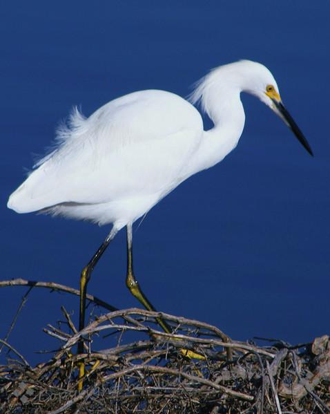 Snowy Egret ~ This egret was shot at Imperial Beach near San Diego, California.