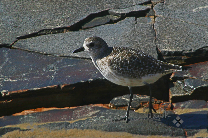 Black-Bellied Plover ~ This winter-plumaged Black-Bellied Plover was one of three that I saw on the beach the other day.