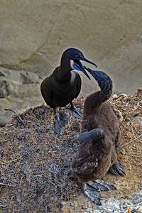 Brandt's Cormorant Begging