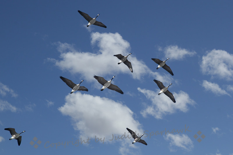 "Canada Geese Flying ~ These geese flew over while I was visiting in Canada this week.  I referred to them as Canada Geese.  A local told me they were just ""geese"", since they were in Canada."
