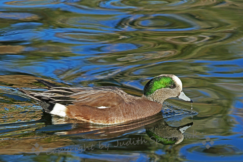 American Wigeon Reflections ~ Coming home from a mountain birding trip today, I stopped by a city park in San Bernardino.  The late afternoon light was making beautiful reflections on the water, so I shot  a few ducks in all that shimmering light.