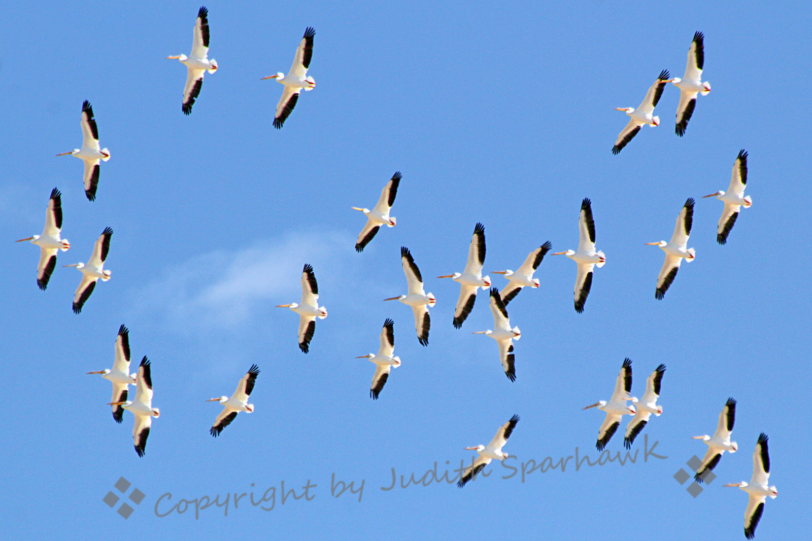 The Big Flight ~ This photo shows only part of a large flock of White Pelicans soaring overhead at Salton Sea.