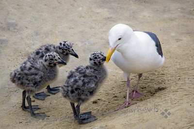 Western Gull with Young