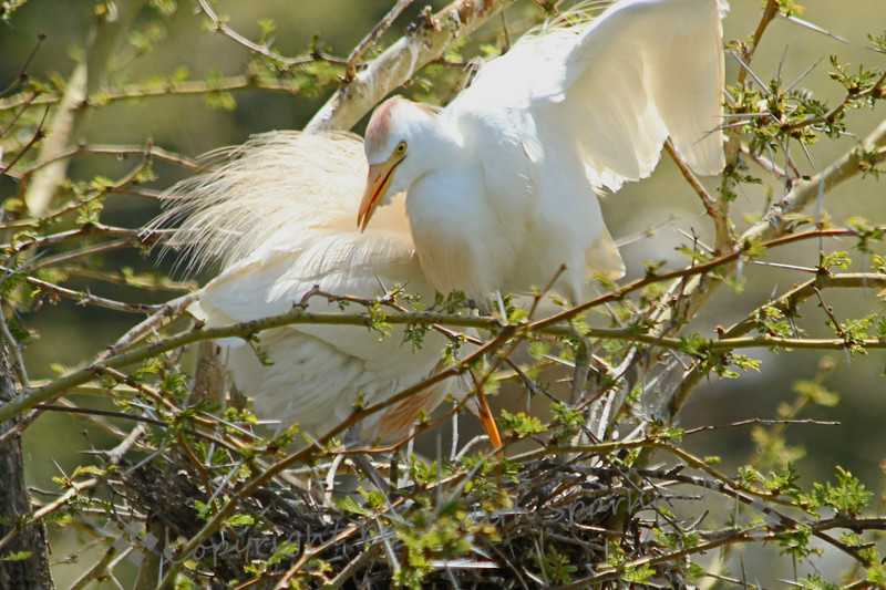 Cattle Egrets Winging It ~ This pair of Cattle Egrets were nesting in a tree with many other nests.  Although she was sitting on the nest, and likely had eggs, he was still going out to find new nesting materials, as well as bringing back food.