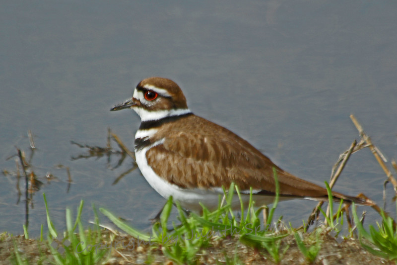 Killdeer ~ I was happy to get close enough to this bird to see and capture his beautiful red eye.  This was at San Jacinto Wildlife Area in Southern California.
