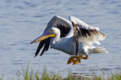 Pelican Lift Off