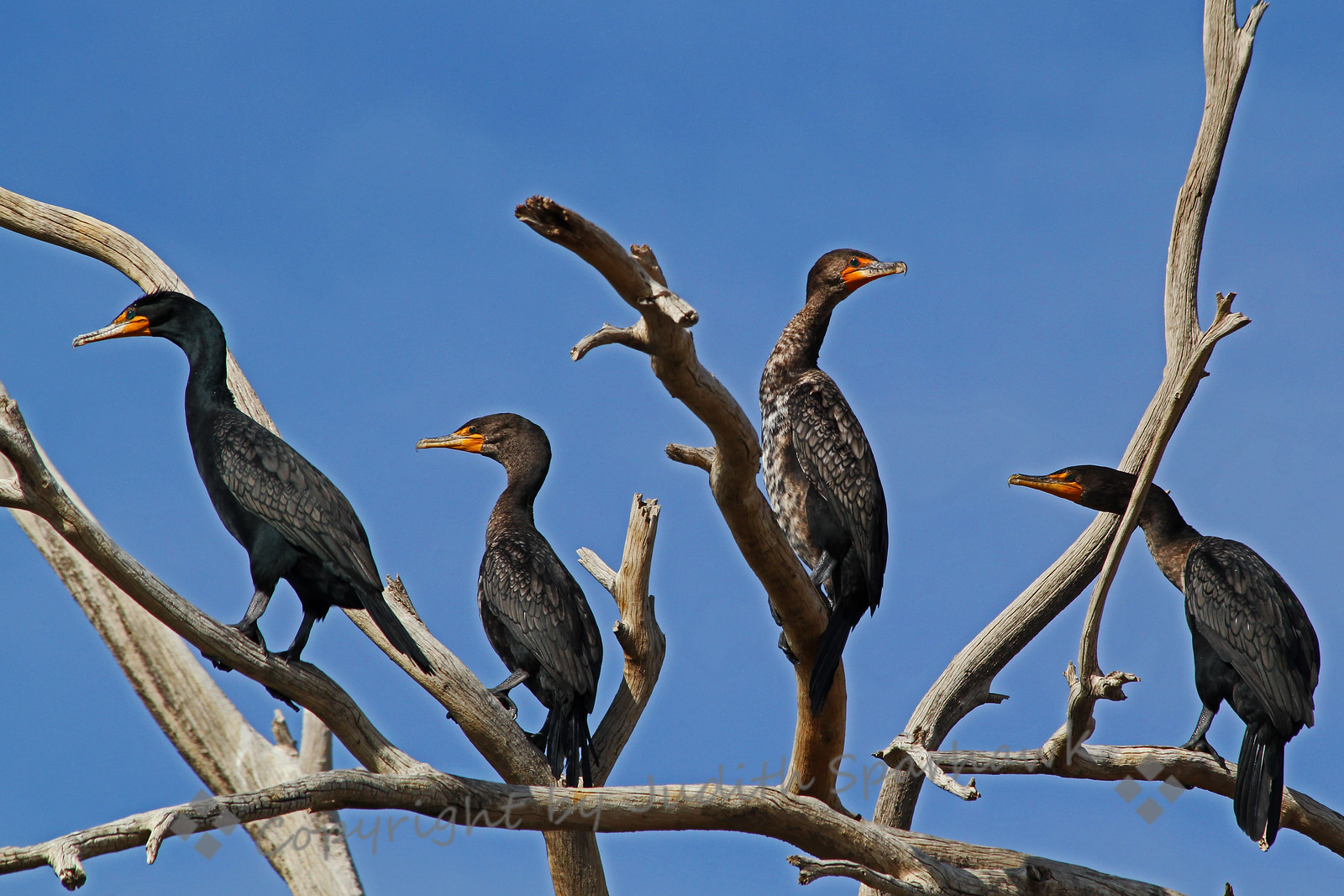 Cormorants in a Tree ~ These Double-crested Cormorants are wintering at Salton Sea.  The second one to the right is a juvenile, shown by the mottled plumage.