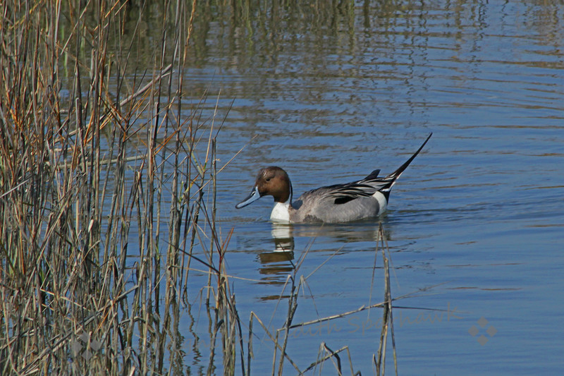 Pintail ~ Pintails are one of my favorite ducks, with their pretty colors and the great up-swept tail.  I liked this view of him, with his head reflected as he swims into the rushes.