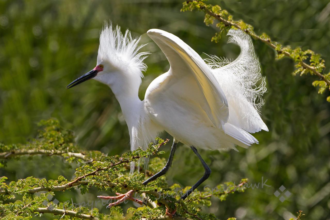 Displaying Snowy Egret