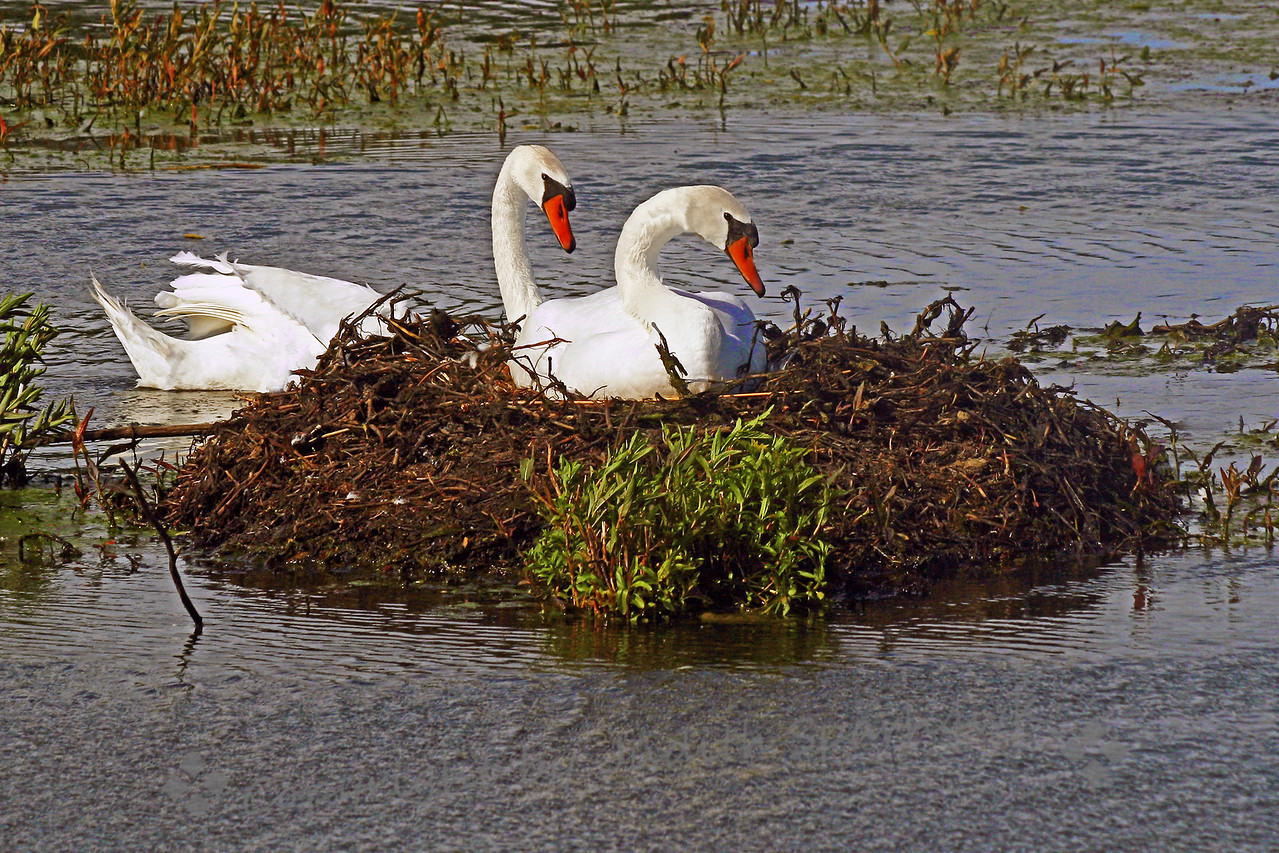 Mute Swans at the Nest ~ The male seemed very attentive to his mate at the nest.  He swam around eating and feeding her as she sat on the nest.