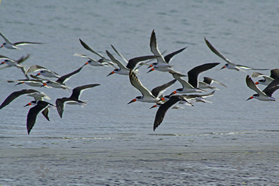 Black Skimmers in Flight ~ This flock of skimmers were flushed from the beach by someone passing by.  They soon returned to loafing on the beach.