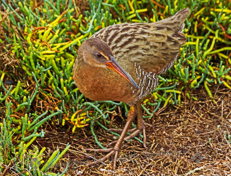 Ridgway Rail Comes Out