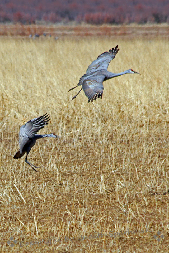 Coming in for a Landing ~ Sandhill cranes coming into the field to feed at Bosque del Apache in New Mexico.