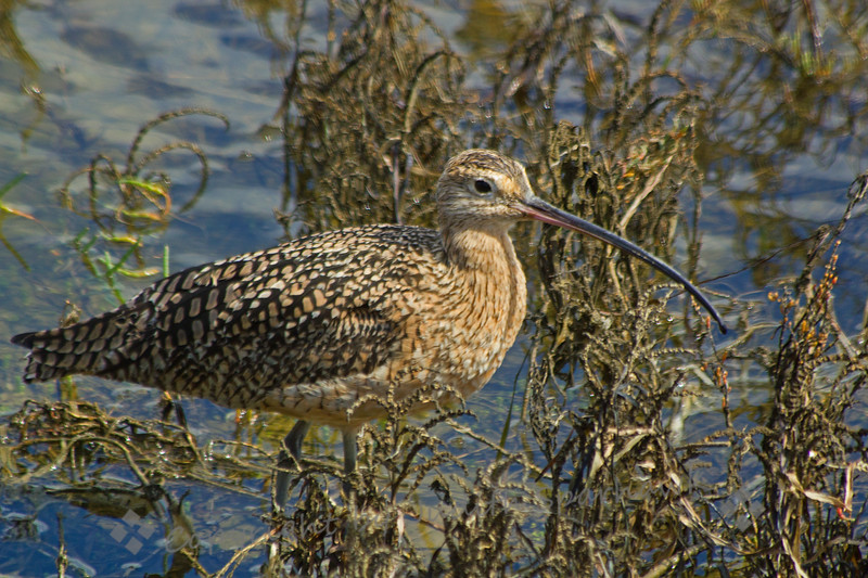 Long-billed Curlew ~ This Long-billed Curlew was photographed at Bolsa Chica Estuarine Reserve in Huntington Beach, CA.