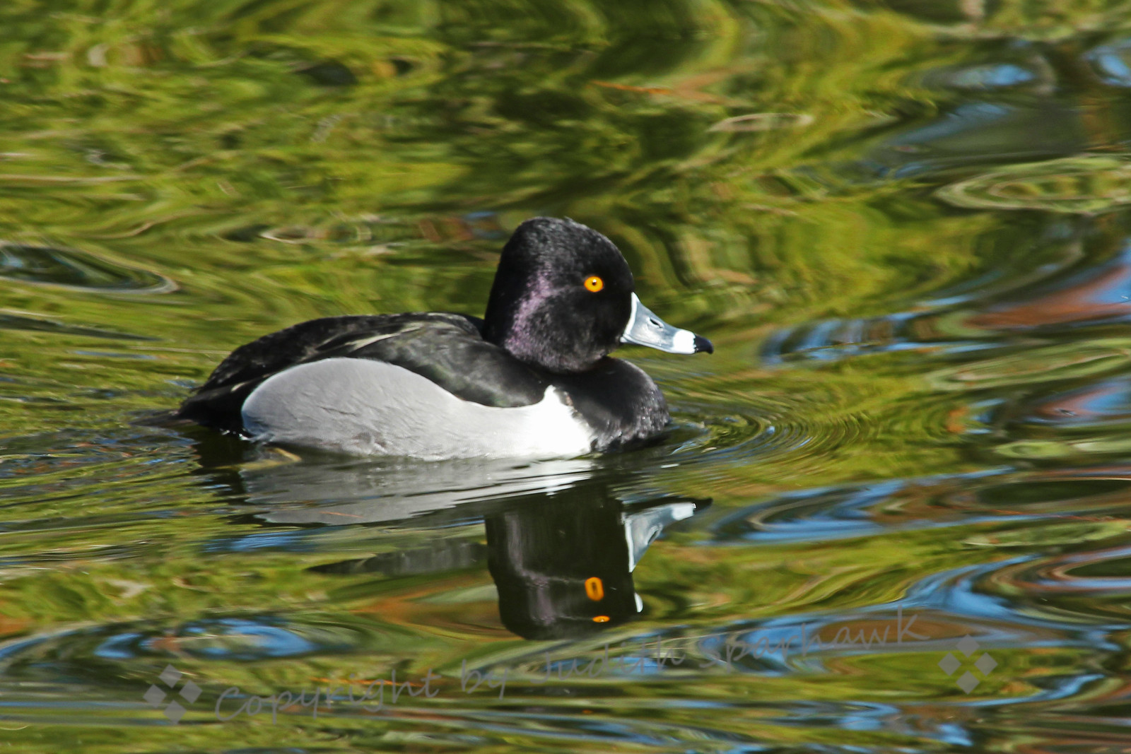 Ring-necked Duck with Reflections ~ The reflections on the lake surface adds color and interest to this pretty duck.