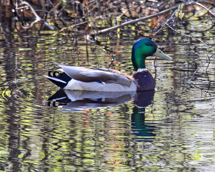 Waterfowl Collection