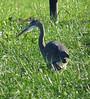 Sandhill Crane (Grus canadensis) - Juvenile