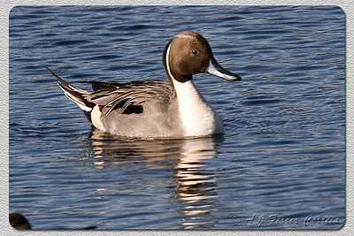 Arrabio (macho) - Anas acuta Pintail (male)