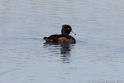 Negrinha (fêmea) - Aythya fuligula Tufted duck (female)