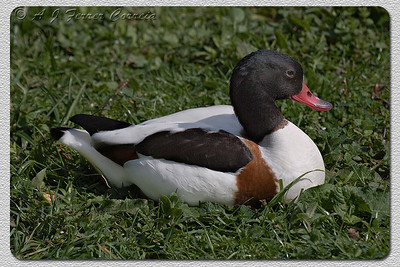 Tadorna ou Pato-branco (fêmea) - Tadorna tadorna (foto em cativeiro) Shelduck (female, shot in captivity)