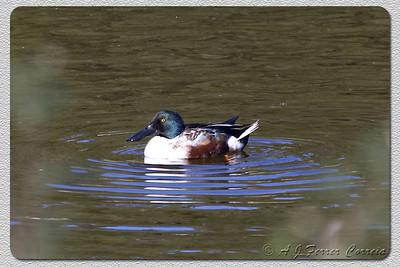 Pato-trombeteiro (macho, início do primeiro Inverno) - Anas clypeata Shoveler (male, beginning of first winter)