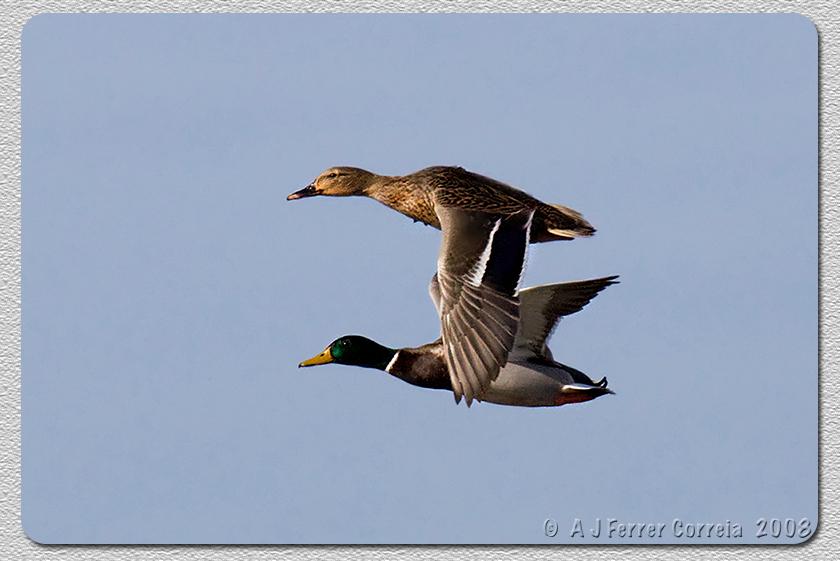 Pato-real (casal em vôo, Outono) - Anas platyrhynchos Mallard (flying couple, Autumn)